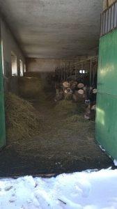 Vacche dell'allevatore Marino Amicone