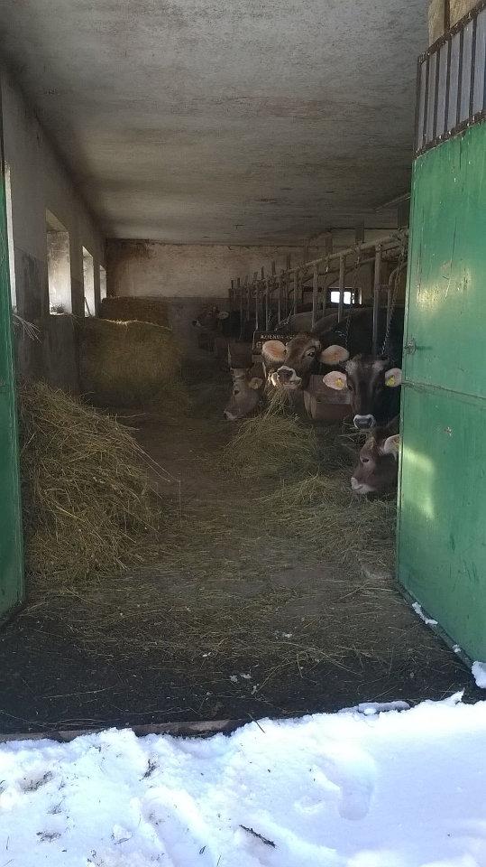 Il lavoro degli allevatori di montagna durante l'emergenza neve. Vacche dell'allevatore Marino Amicone, d'inverno rimangono in stalla.