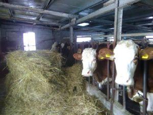 Vacche di Mina Marcovecchio