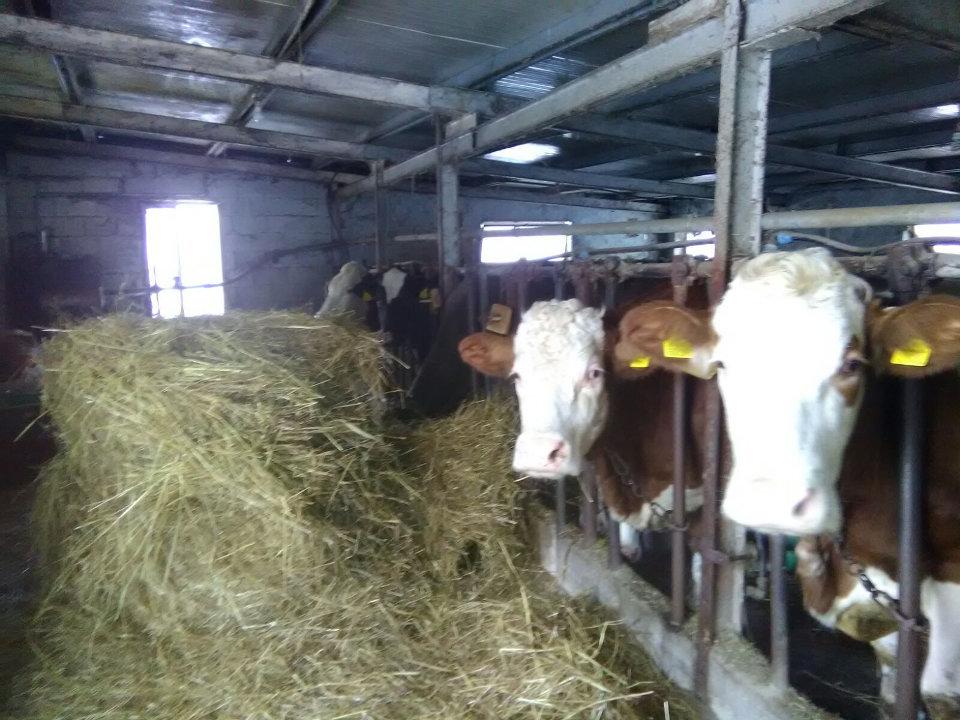 Il lavoro degli allevatori di montagna durante l'emergenza neve. Stalla di Mina Marcovecchio con le sue vacche